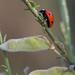 Ladybug  060517-0969
