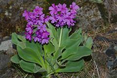 Primula latifolia Lapeyr.