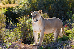 Lioness standing and staring at her prey in a distance
