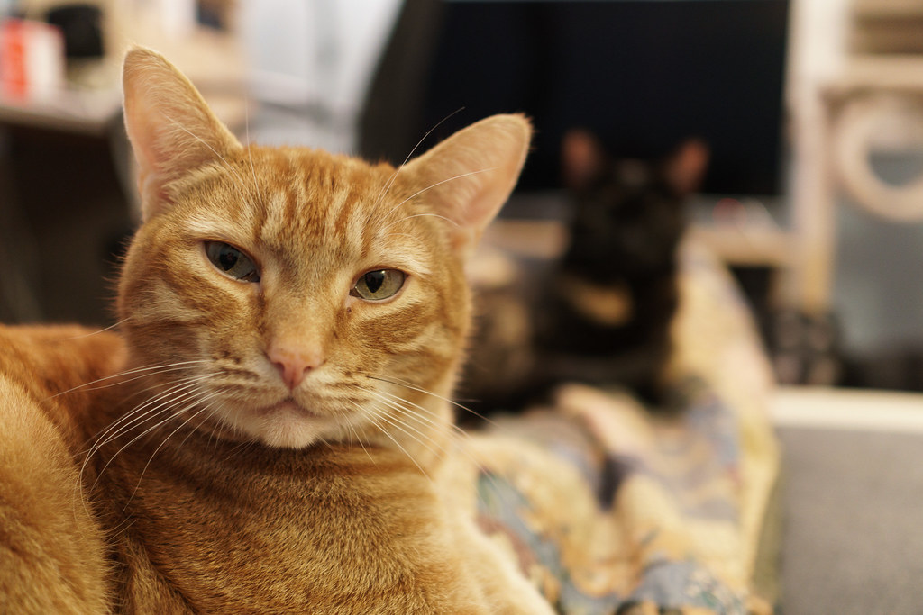 Our cat Sam gives me a serious look while Trixie is in the background