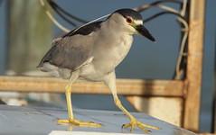 Black-crowned Night-heron, Pithlachascotee River Docks