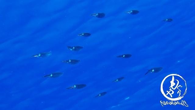 アオリイカの群れ