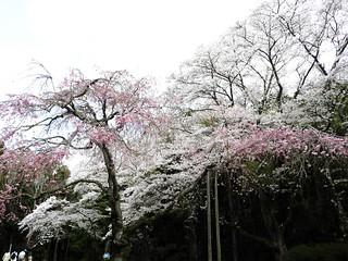 泉自然公園 16 枝垂れ桜
