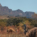 Flinders Ranges emus
