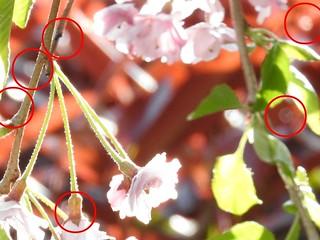 かわいい妖精たち 桜編09