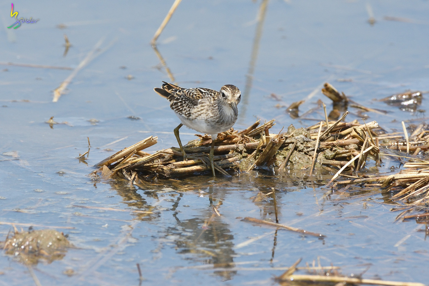 Long-toed_Stint_8298