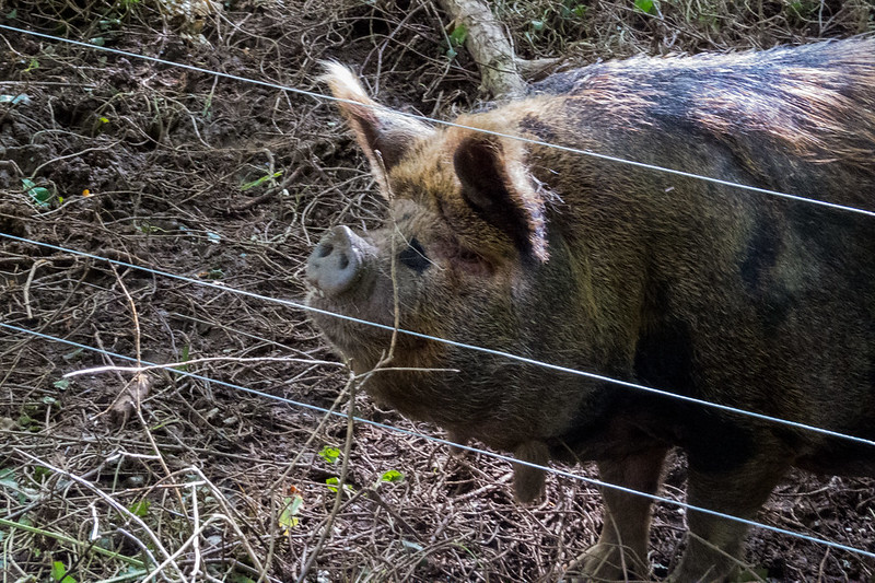 This Kunekune is hoping to be fed a few apples