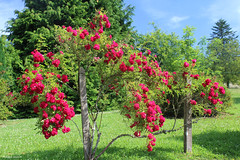 Roses - Photo of Guéhébert