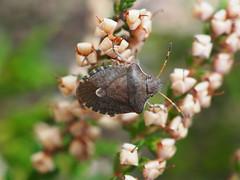 Vernal Shieldbug - Peribalus strictus