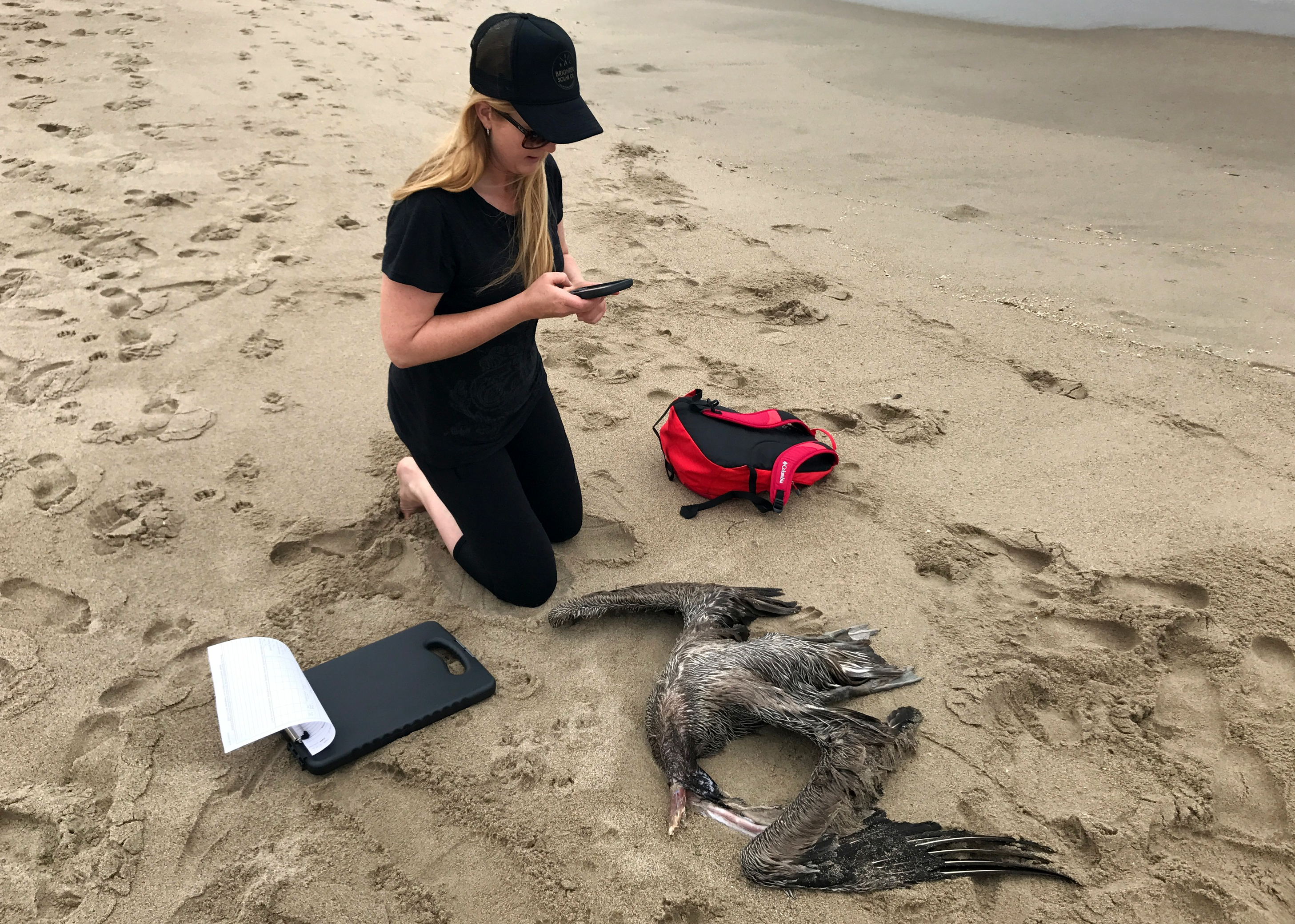 Andrea Dransfield, a BeachCOMBERS volunteer, examines a California brown pelican found on Silver Strand beach during her monthly survey.