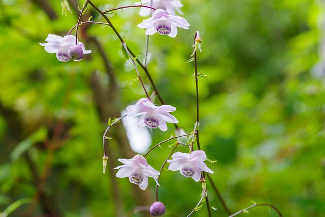 御嶽神社参道付近に咲くレンゲショウマ