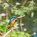 Small photo of Kingfisher Alcedo atthis