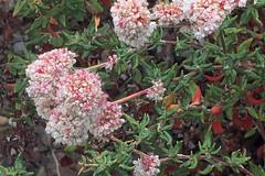 J20170810-0070—Eriogonum parvifolium—RPBG—DxO