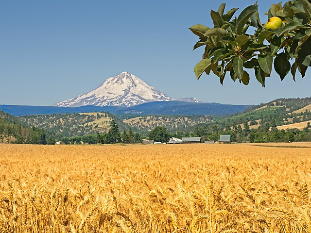 Wheat Field Mt Hood and Apple Tree 3341 D