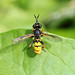 Conopid fly_4627
