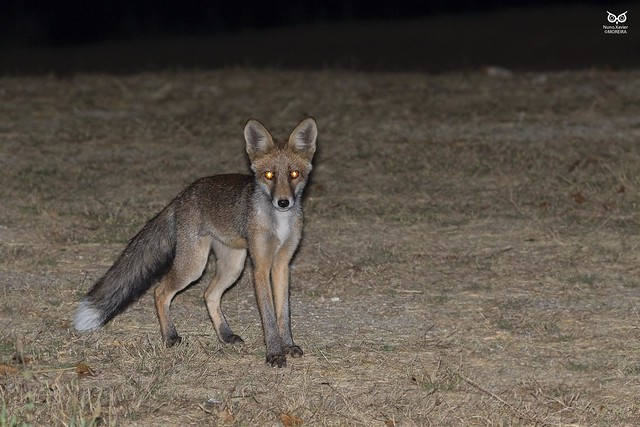 Raposa, Red Fox (Vulpes vulpes)