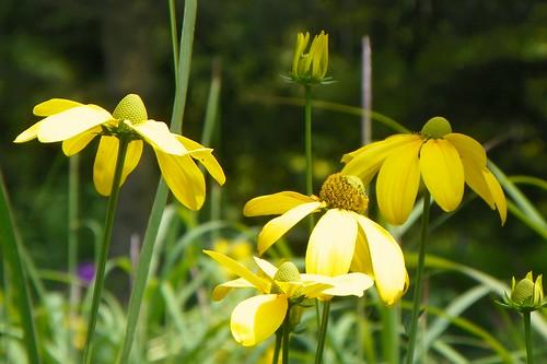Rudbeckia nitida 'Herbstonne'