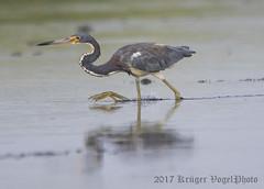 Tricolored Heron-0280