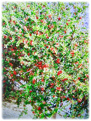 Beautiful prolific flowering small tree of Punica granatum (Pomegranate, Buah Delima in Malay), 24 Aug 2017