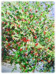 Beautiful prolific flowering small tree of Punica granatum (Pomegranate, Buah Delima in Malay), 24 Aug 2017