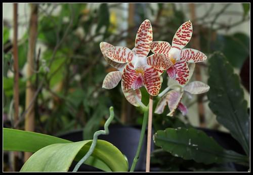 Phalaenopsis sumatrana (South Thailand) 36067177674_bba511952d