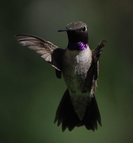 Dark Chinned Hummingbird. (Explored.)