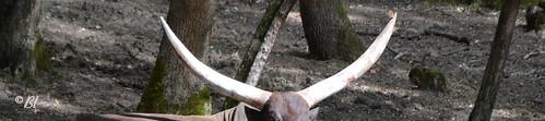 Le watusi est une sorte de bovin avec de looooongues cornes.