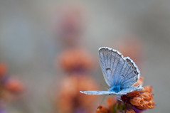 Polyommatus mâle - Photo of Saint-Bresson