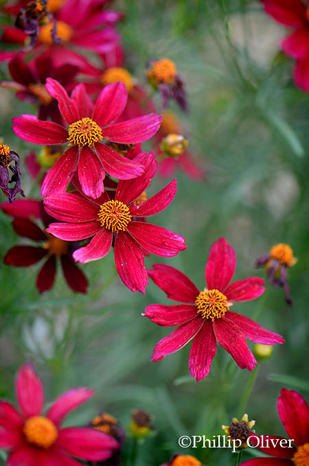 coreopsis-red-satin