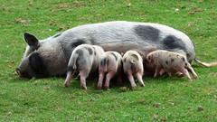 Cerza Zoo - piglets