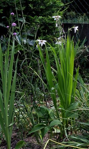 Gladiolus murielae (= Acidanthera murielae) - glaïeul d'Abyssinie 36497022215_8550f43ed4