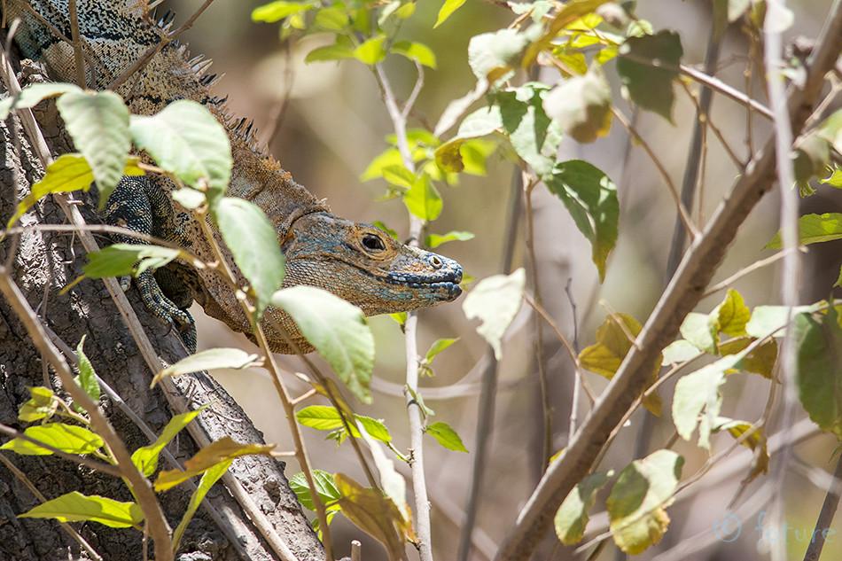 Must, iguaan, Ctenosaura, similis, Black, spiny, tailed, Iguana, ctenosaur, Nicoya, peninsula, Costa, Rica, Kaido Rummel