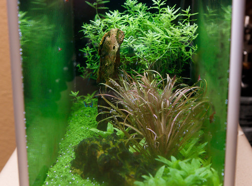 aquarium covered in gsa green spot algae