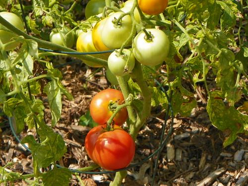 Tomato Beaverlodge Slicer