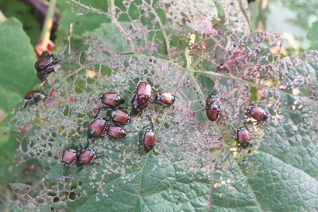 two dozen beetles on one grapevine leaf, with holes chewed in about half