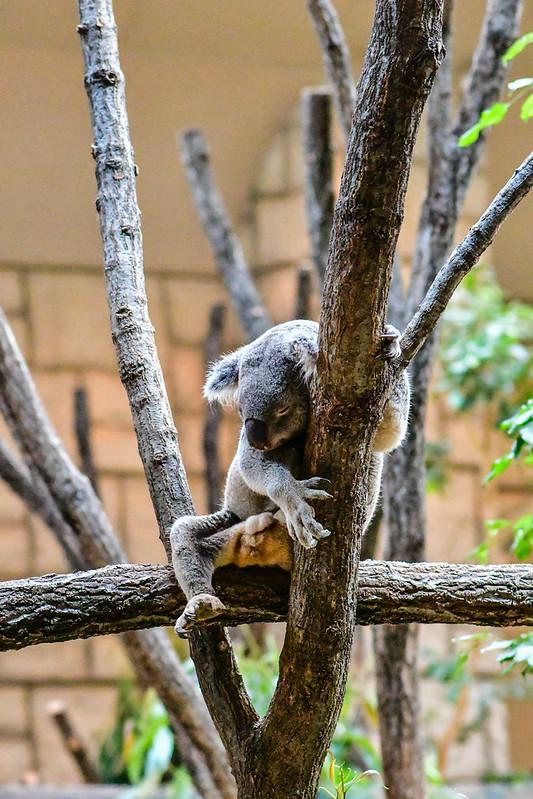 D7500で撮影した東山動物園のコアラ