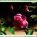 IMG_4288_Pink Rose