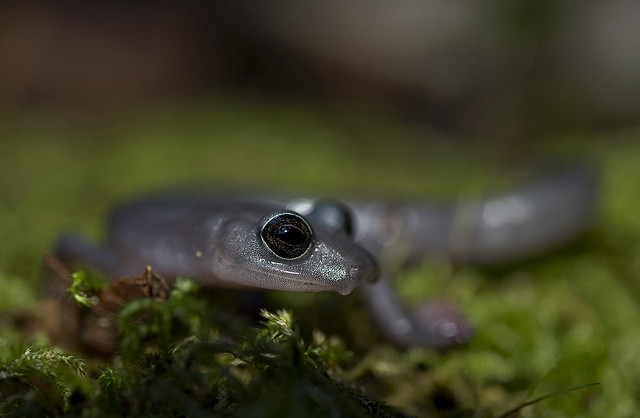 image of big-footed salamander