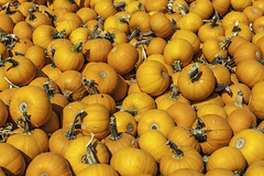 A Lot of Pumpkins