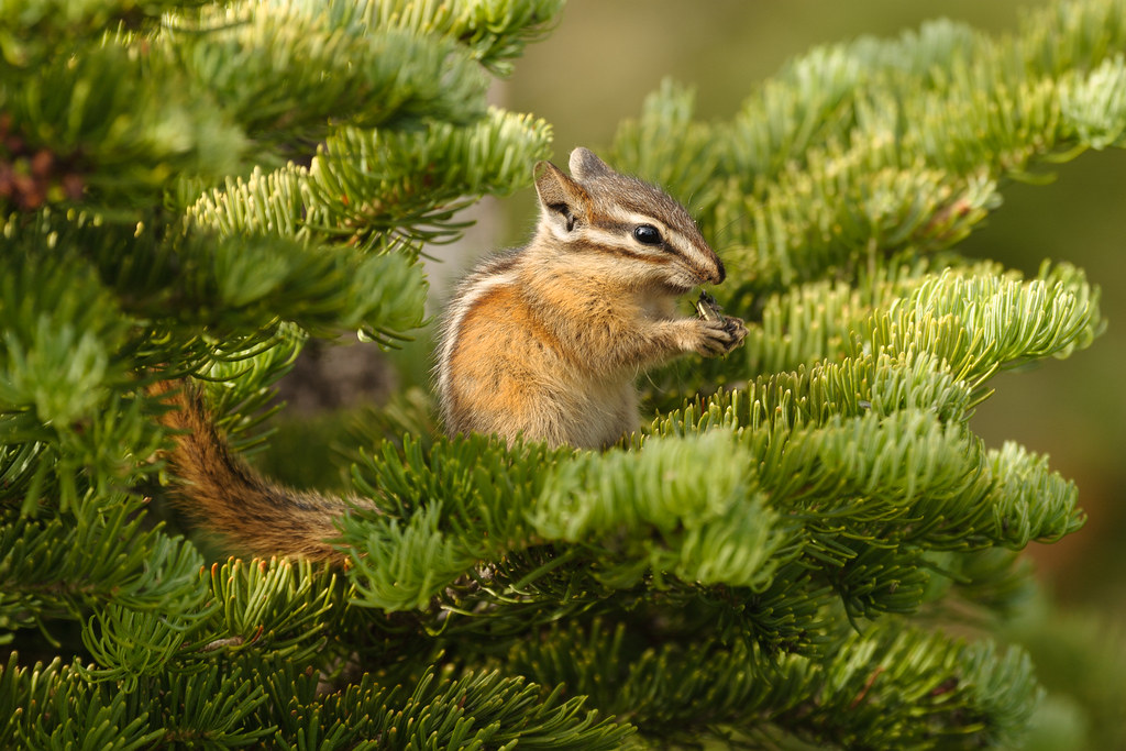 A chipmunk eats seeds in a tree at Storm Point in Yellowstone National Park