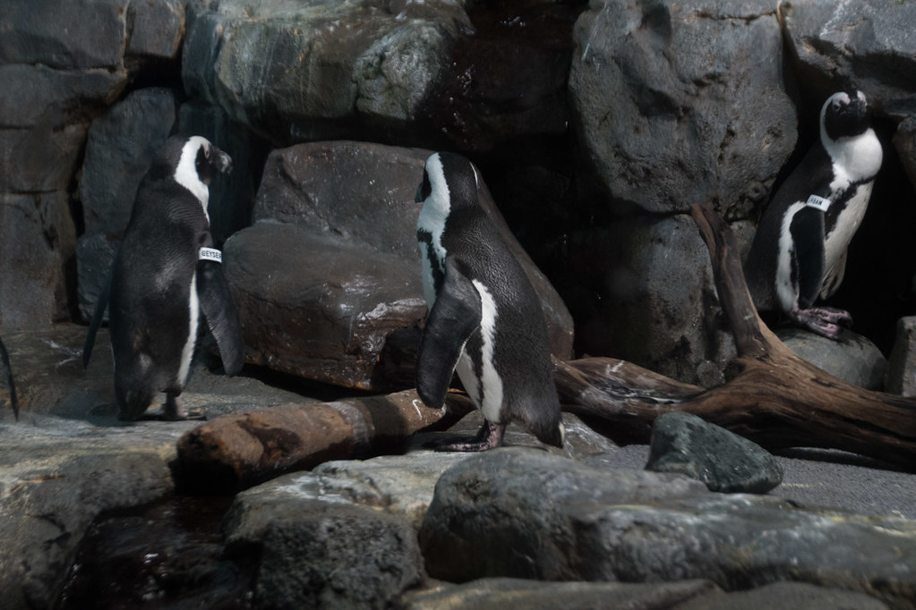 Penguins at the Aquarium