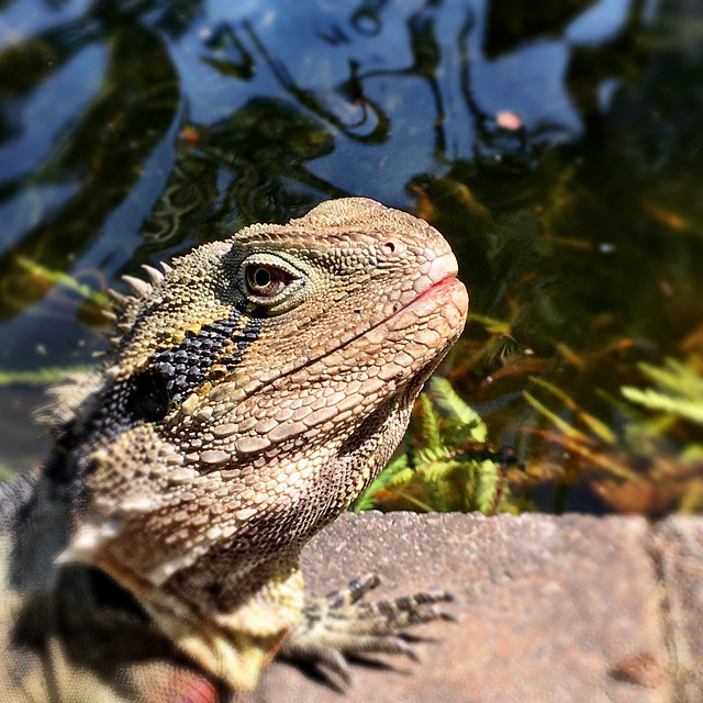 Water dragon - Brisbane Botanical Gardens