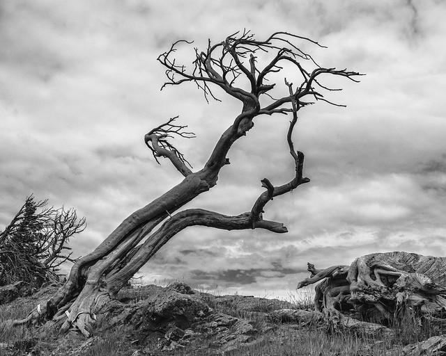Burmis Tree, Fujifilm X-Pro2, XF18-55mmF2.8-4 R LM OIS