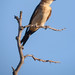 Golondrina dáurica (Cecropis daurica) / Red-rumped swallow