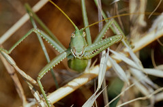 Common Predatory Bush-cricket (Saga pedo)