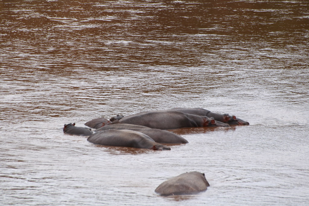 Wallowing hippos in the Mara river