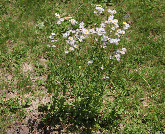 a narrow strip of three clumps of plants about two feet tall in the middle of a patchy lawn