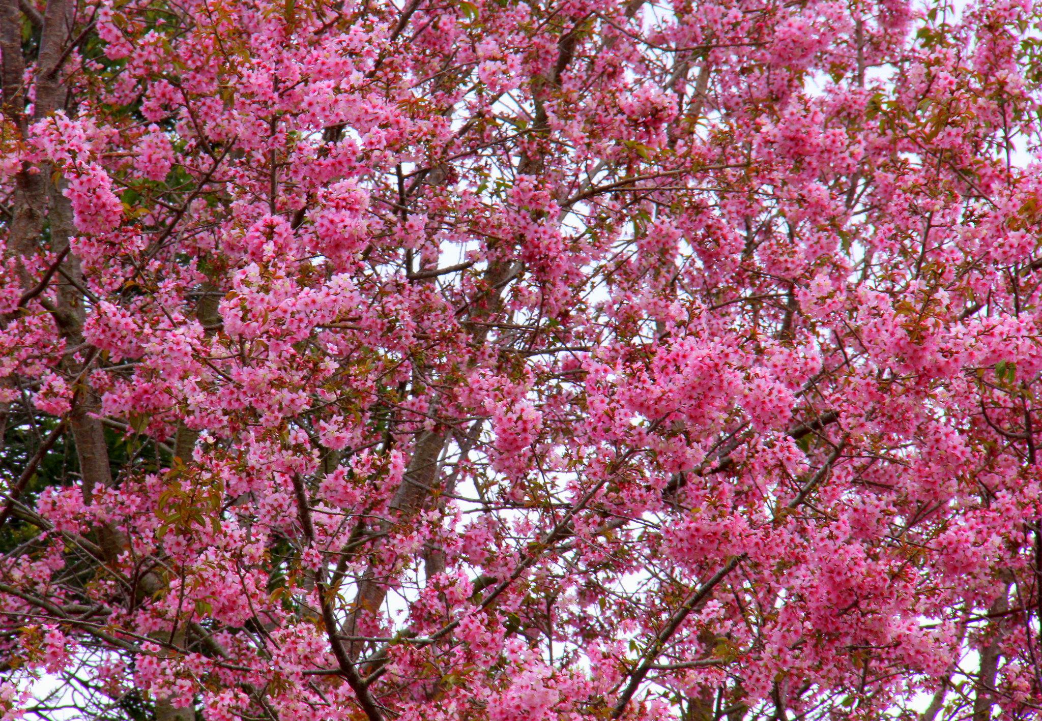 Kodaikanal wild cherry trees bloom in spring