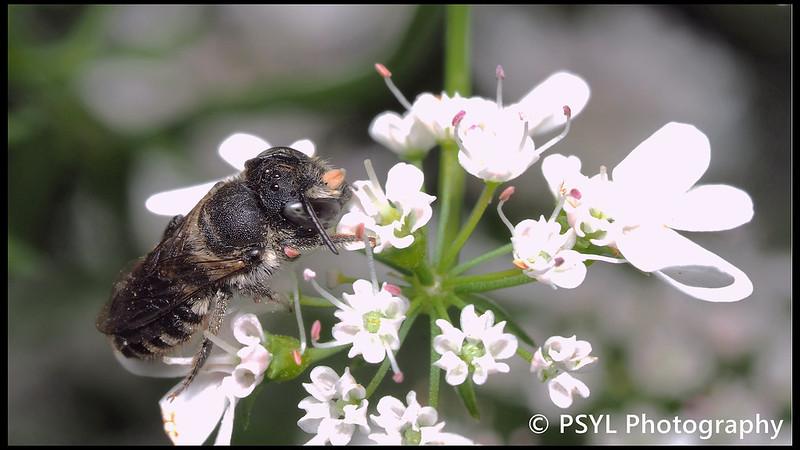 Megachilid bee on coriander flowers (Coriandrum sp.)