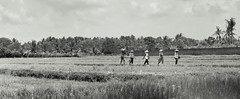 Workers in a rice field